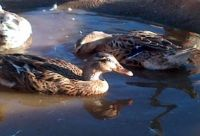 Mallard Ducks (Domesticated)