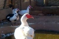 White Muscovy Ducks