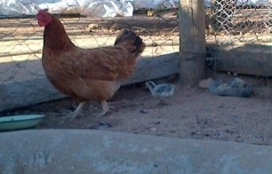 Chickens, Broilers